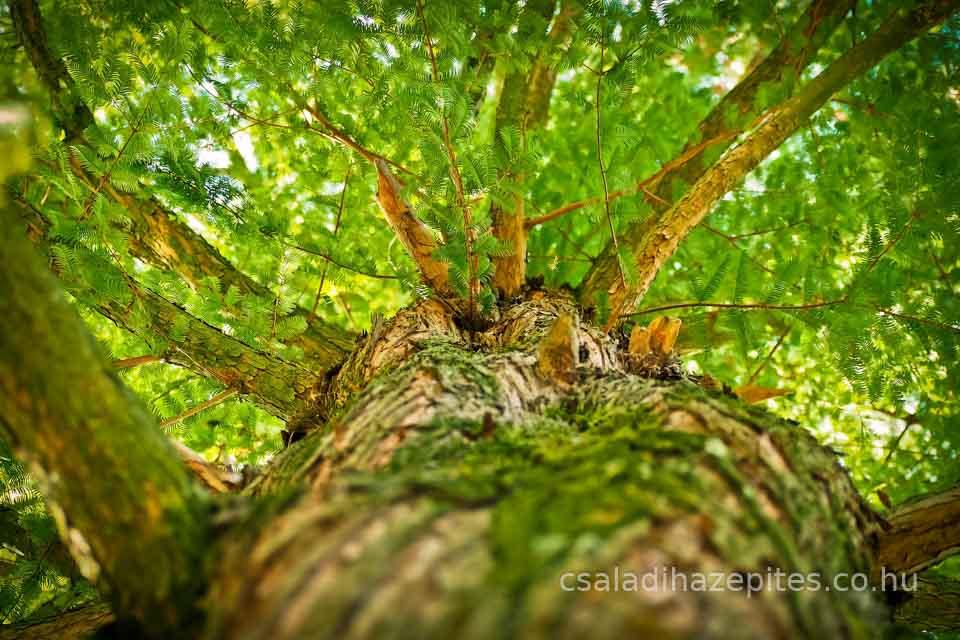 Fenyőfa fa